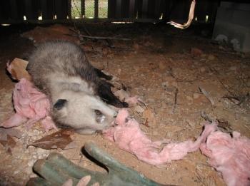 Your Wildlife Professionals, Inc  - Virginia Opossum