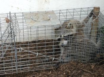 Your Wildlife Professionals Inc Virginia Raccoon Procyon Lotor Order Carnivera Removal